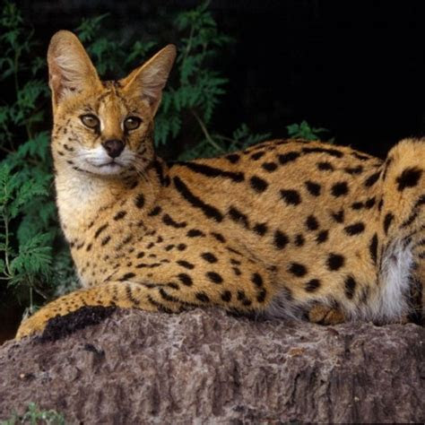 African Golden Cat Characteristics and Pictures   InspirationSeek.com