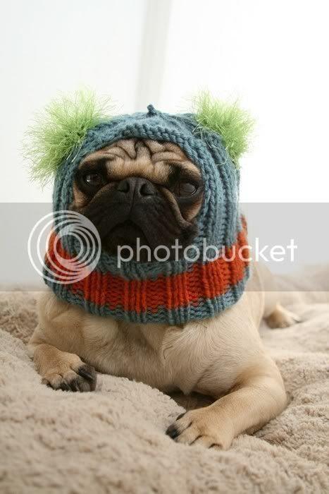 pug wearing hat