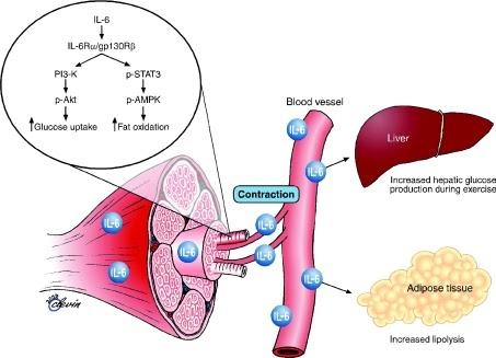 asociación de diabetes mioquinas