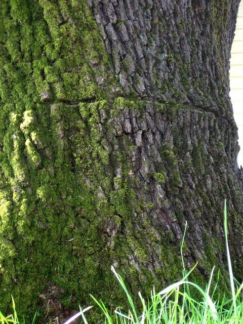 chainsaw scar, corbett oak