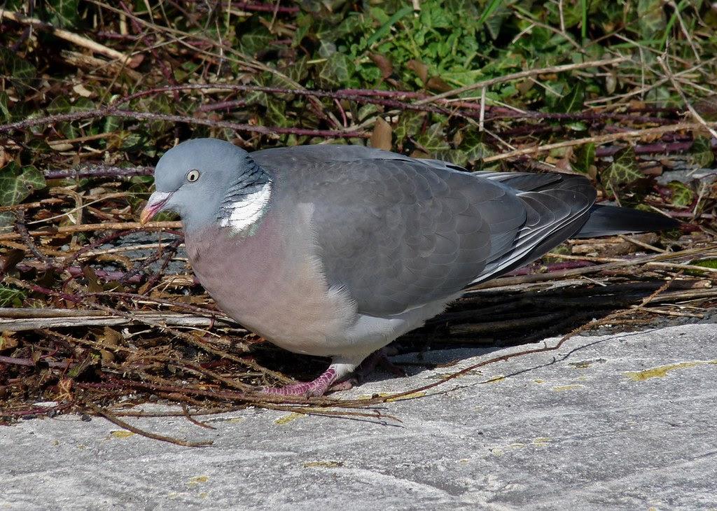 23930 - Wood Pigeon, Bracelet Bay, Gower