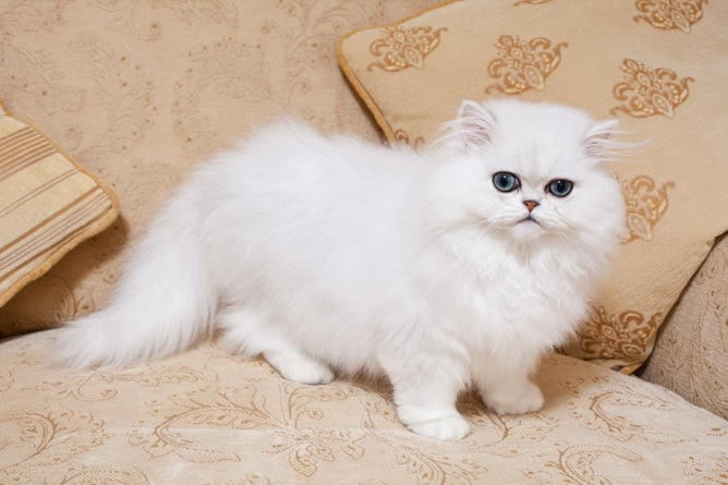 Chinchilla Cat Breed Information Your Cat