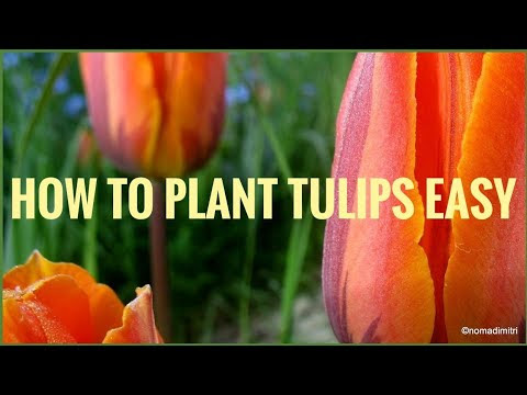 How to plant tulips easy