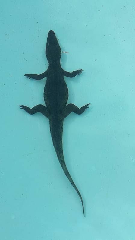 Jacaré curtiu um mergulho em uma piscina no DF
