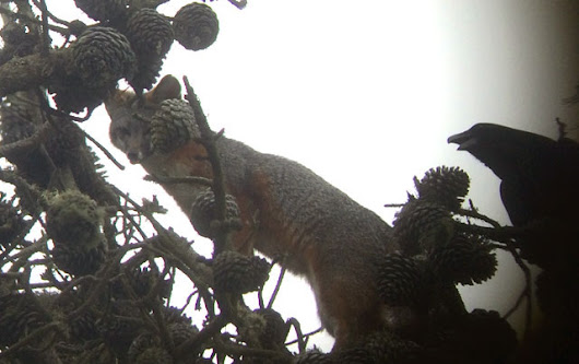 Gray Foxes Are Breeding In The Presidio Again