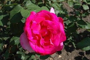 "Rosa 'Parole' Deutsch: Tee-Hybride ""Parol..."