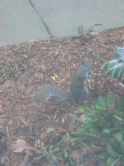 Squirrel that digs up the mulch