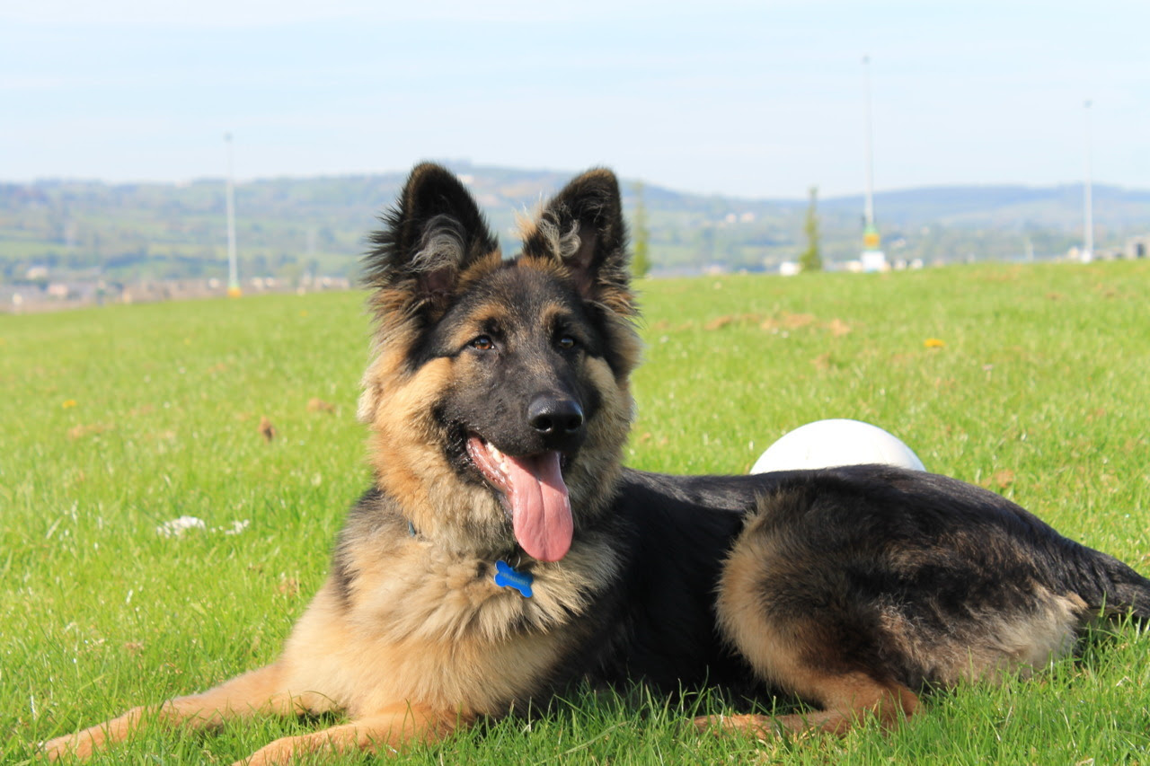Most Obedient Dog Breeds Dog Training Home Dog Types