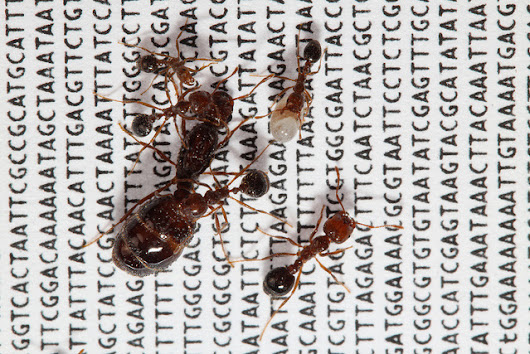 Scientists explore the evolution of a 'social supergene' in the red fire ant