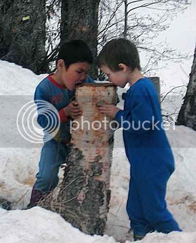 Drinking Birch Sap From Stump-2