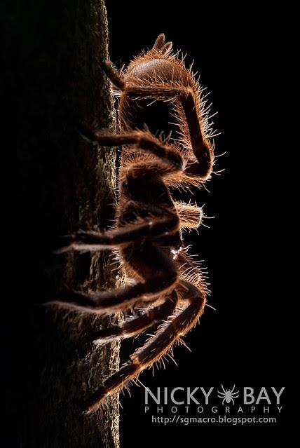 Tarantula (Phlogiellus sp.) - DSC_9963