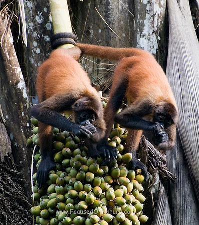 Spider Monkey Pair Eating Palm Nuts