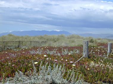 iceplant-flowers