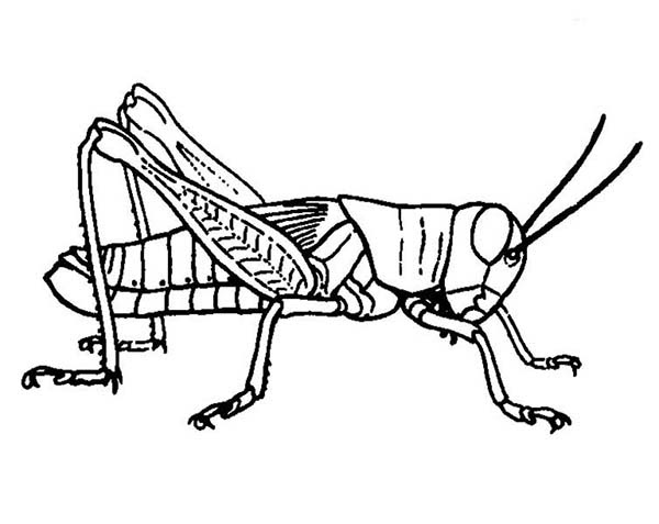 grasshopper drawing Grasshopper Picture Coloring Page