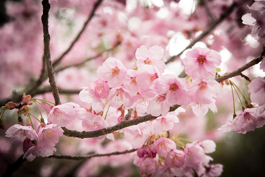 Tips on chasing Sakura (Cherry Blossoms) in Japan | HDR Photographer