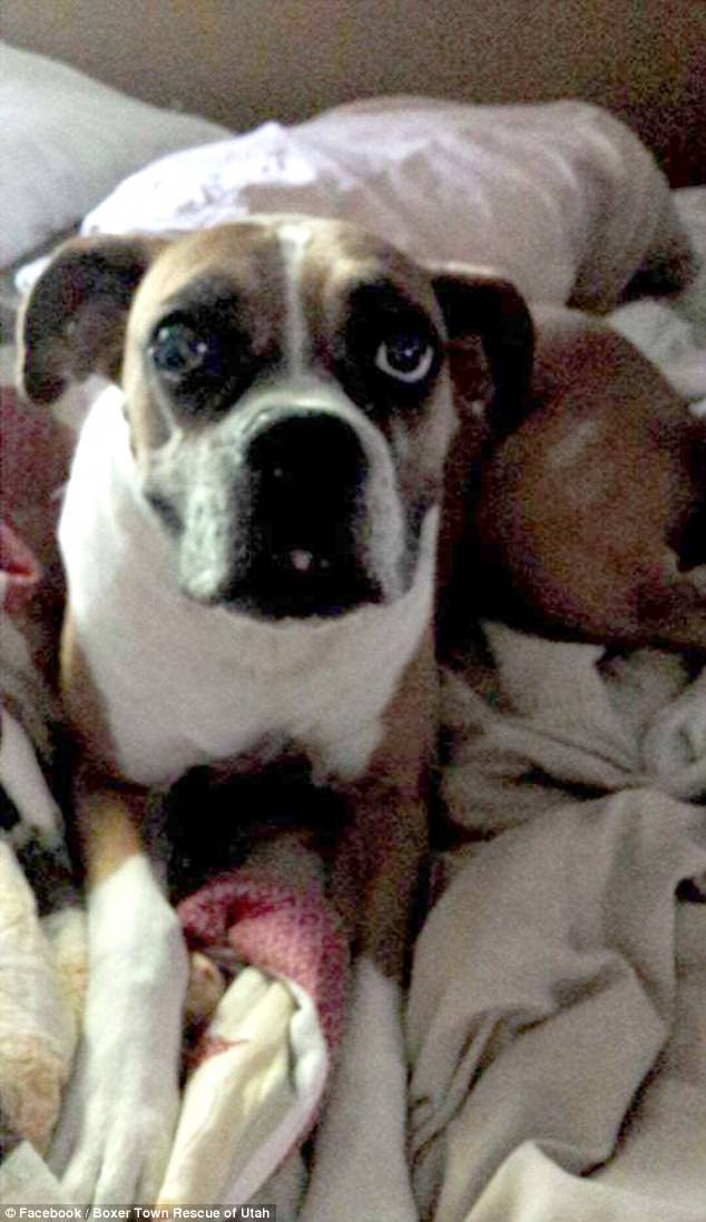 The Coates family noticed their boxer dog Zoey's health had taken a decline when she began having seizures