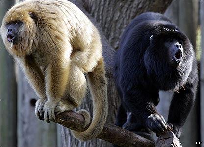 http://news.bbc.co.uk/media/images/41082000/jpg/_41082494_monkey_ap.jpg