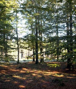 Bokskog i höstfärg