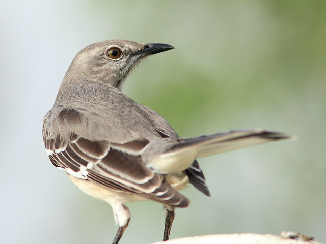 Northern Mockingbird 20121213