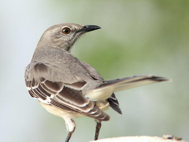 Northern Mockingbird 20121213