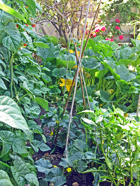 beans, cucumbers, bell peppers, squash in Alice's garden