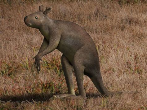 Prehistoric giant kangaroo favored walking to hopping   L7 World