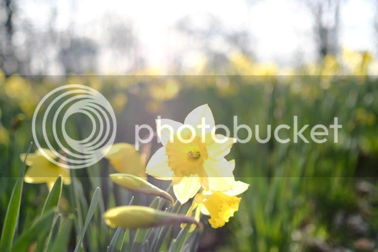 photo daffodil_zpsjckr4lpb.jpg