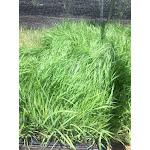 Eragrostis spectabilis 72 Plugs   Conservation Quality Plants by ArcheWild