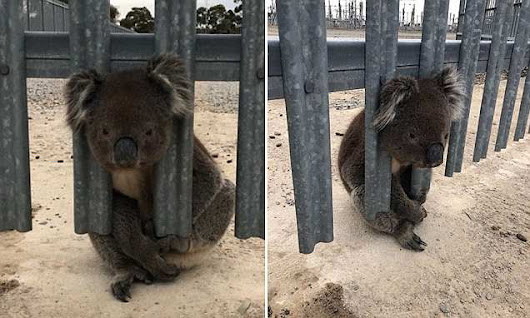Curious koala rescued AGAIN after getting head stuck in a fence | Daily Mail Online