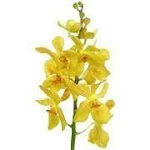 Yellow Mokara Orchids (60 stems)
