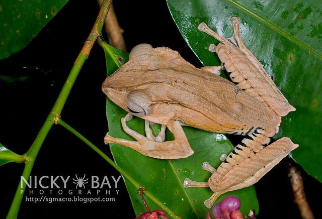 File-eared Tree Frog (Polypedates otilophus) - DSC_8945