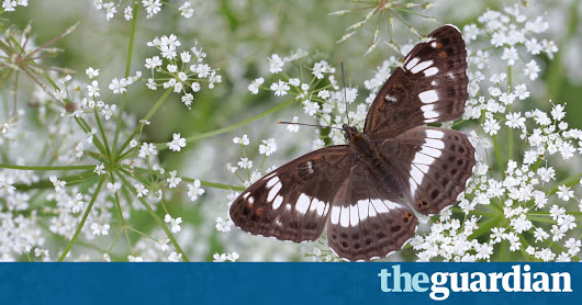 UK butterflies worst hit in 2016 with 70% of species in decline, study finds | Environment | The Guardian