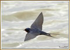 golondrina común 11 - oreneta vulgar - barn swallow - hirundo rustica