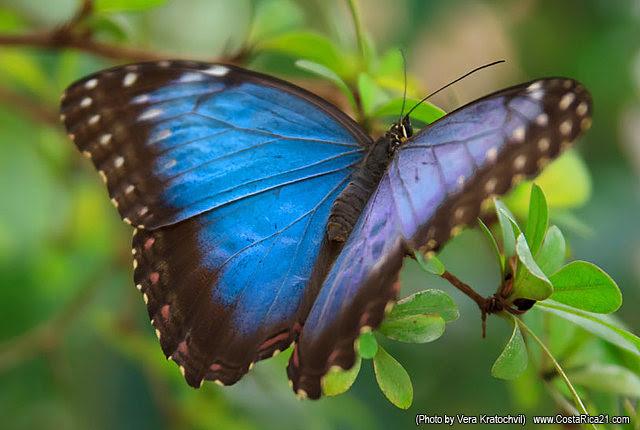 Mariposas De Costa Rica Mariposa Morfo Azul Fotos De Mariposas