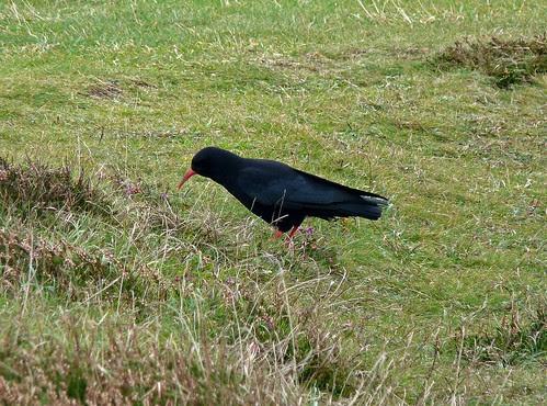 22435 - Chough, Pembrokeshire
