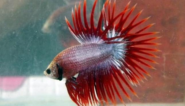 Unduh 43+ Gambar Ikan Cupang Png Terbaru