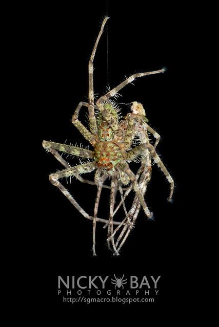 Lichen Huntsman Spider (Pandercetes sp.) - DSC_8202