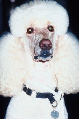 Poodles come in standard, miniature and toy sizes.
