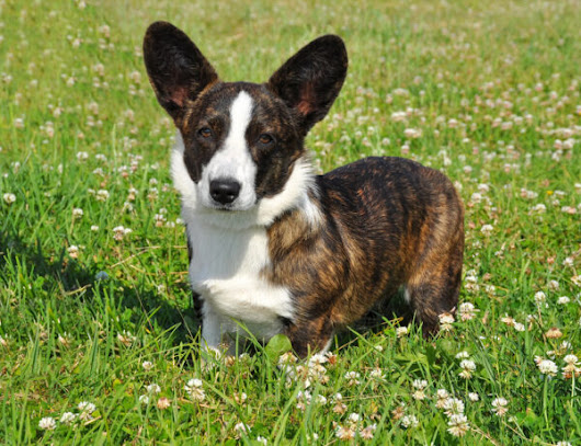 Get to Know the Cardigan Welsh Corgi: The Other Corgi