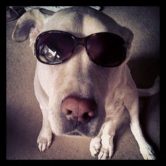 Apparently it's Wear Your Sunglasses Day in doggy blogland... #dogstagram #shades #love #bigdog #toocute