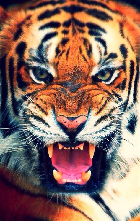 tiger iphone wallpaper wallpapersafari