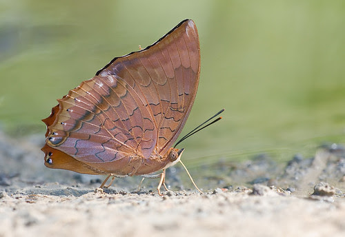 Tufted king butterfly, Charaxes bernadus repetitus IMG_6433 copy