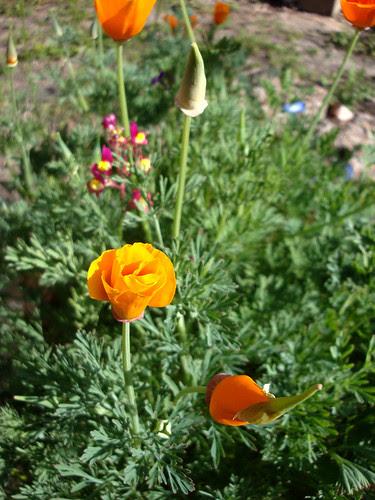 poppies6