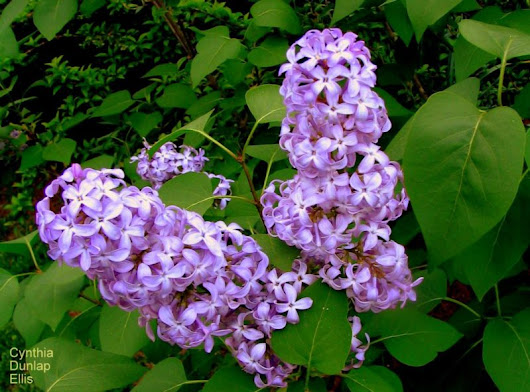May lilacs associated with a haunting West Virginia tale - West Virginia Explorer