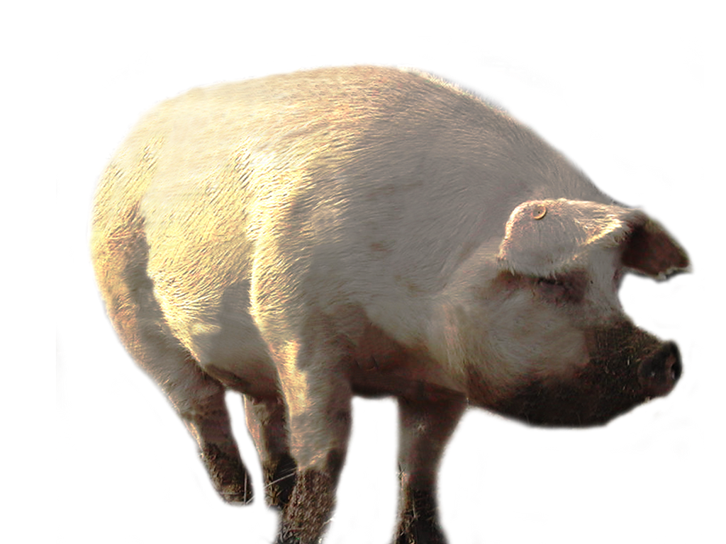 Big pig PNG stock by lubman on DeviantArt
