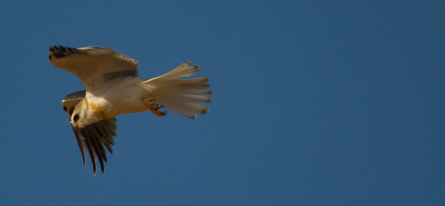 White-tailed kite 4
