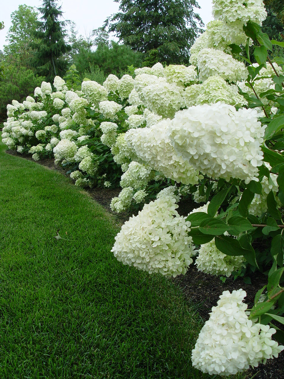 The Hydrangeas Deborah Silver Co