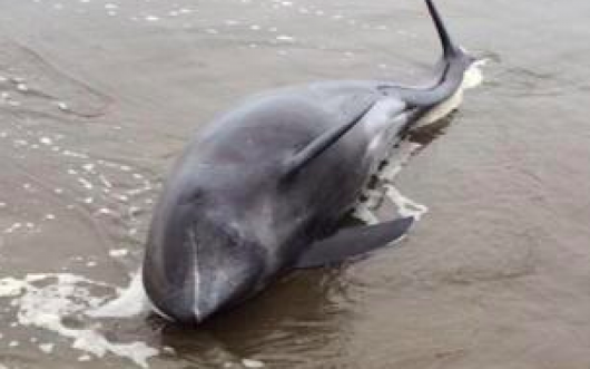 "Most of the inspected dolphins had lungs in ischaemia state as ""entirely white"" - Fukushima Diary"