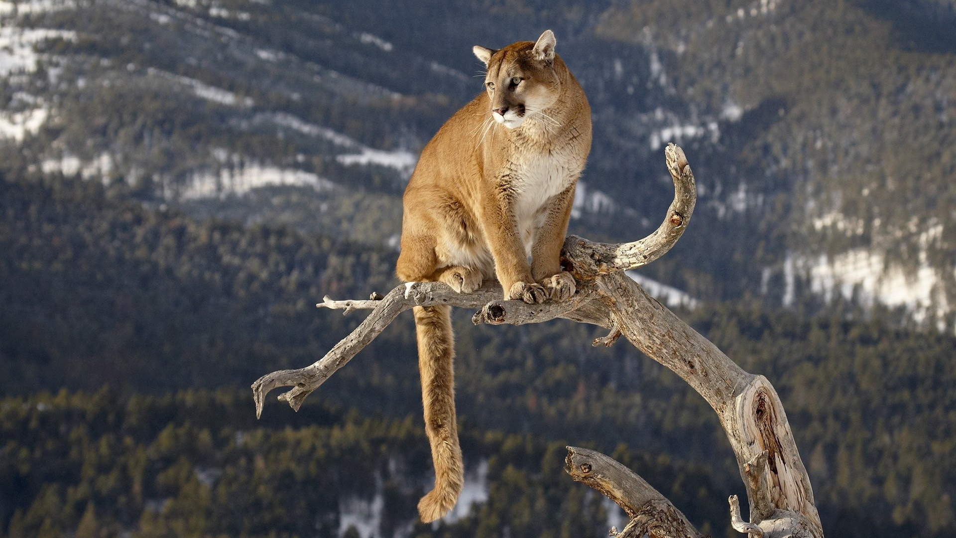 Big Cats Images Cougar Hd Wallpaper And Background Photos 40613360