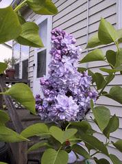 foto, lilac